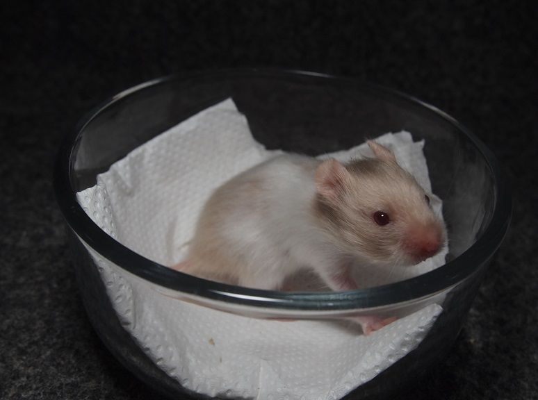 Syrian Hamster Blonde Saten Band Baby 18days Old Syrian Hamster Hamster Color Patterns