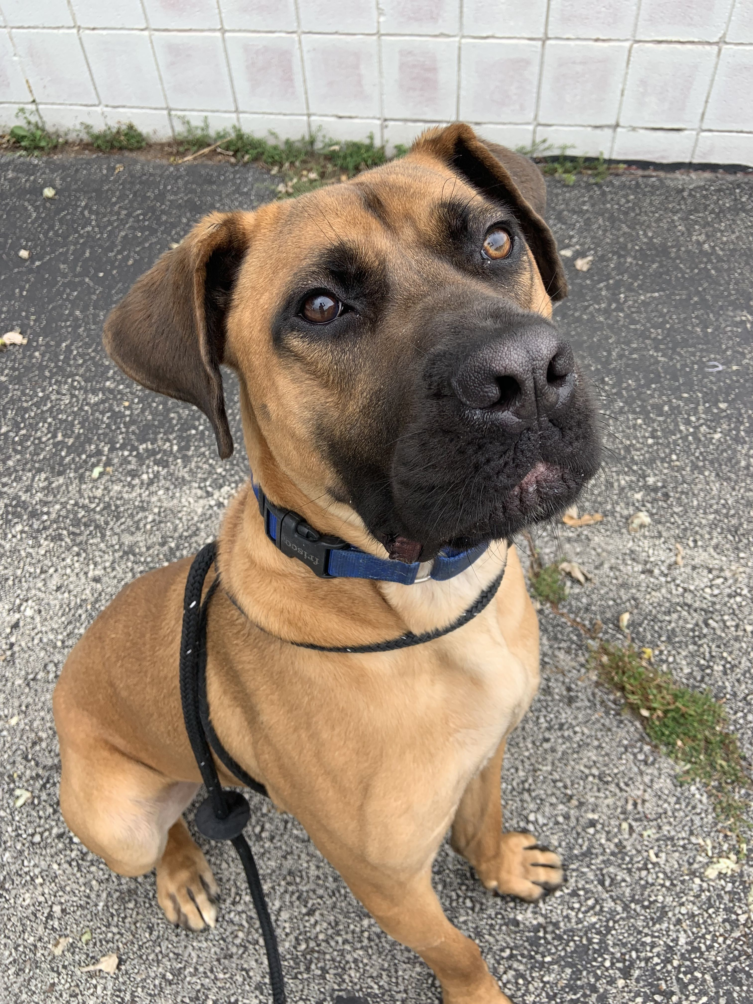 Great Dane Puppies For Adoption In Ohio 2021