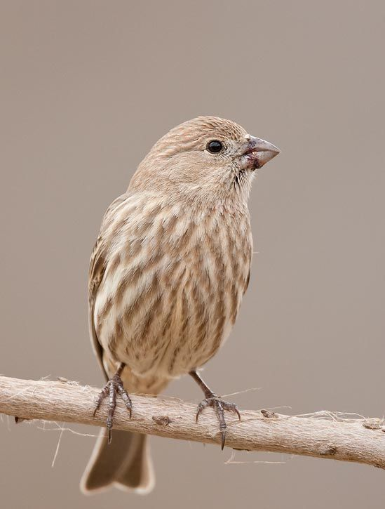 HOUSE FINCH - FEMALE | Bird house, Finch, Birds