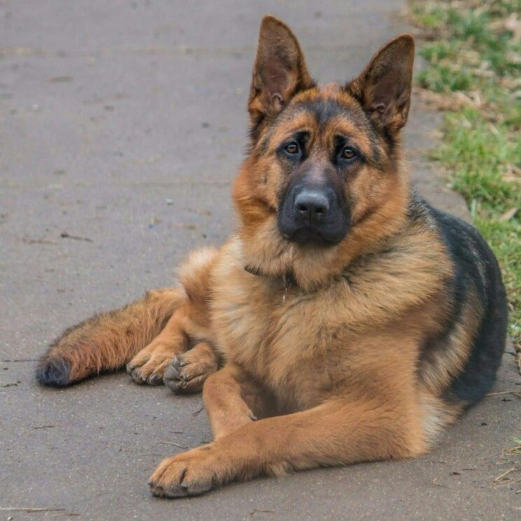 11 Month Old Female West German Showlines German Shepherd Zuri Stock Coat Beautiful Dogs German Shepherd Dogs