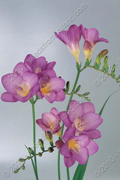 Freesia Freesia Mixed Online Shop Vegetable Herbs Flower And Organic Freesia Flowers Flower Art Beautiful Flowers
