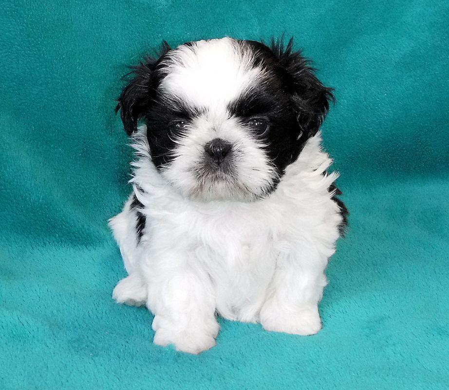 Mr Foos Shih Tzu Puppy Shih Tzu Puppy Dog Bows Dog Bowtie