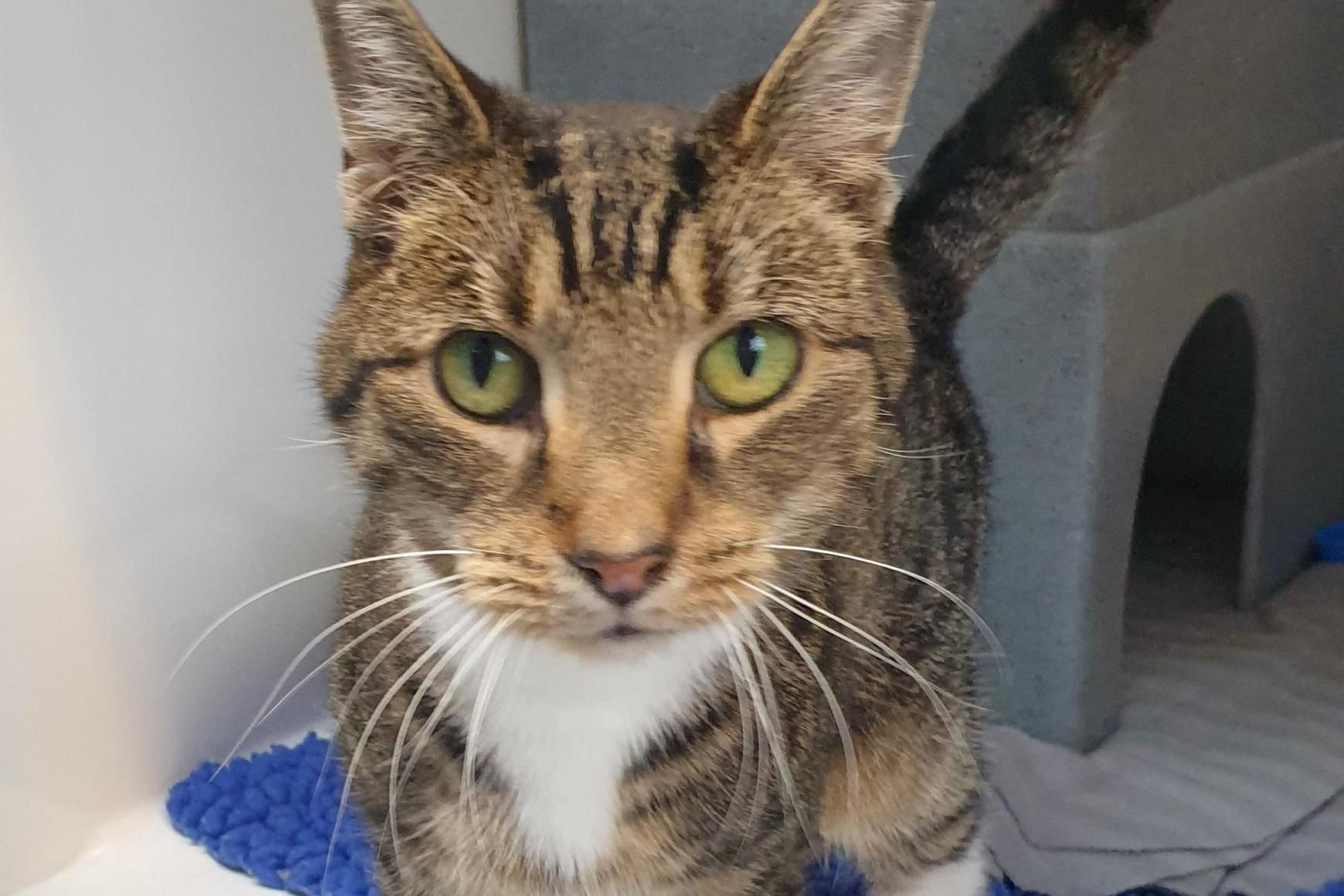 Cat Who Can T Stop Sneezing Stuck At Rescue Centre Because Nobody Will Adopt Him Cat Sneezing Gorgeous Cats Tabby Cat