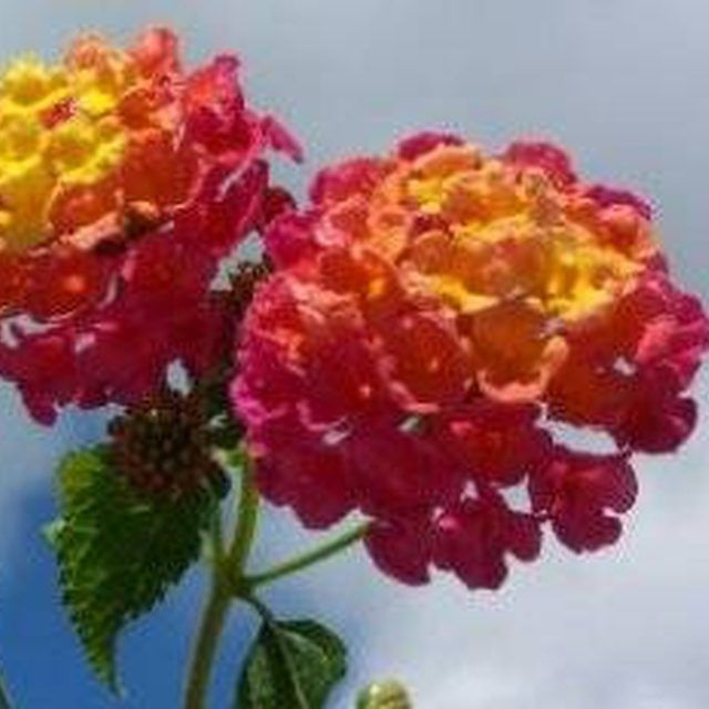 Winter Care For Lantana Plants Amazing Flowers Lantana Flower Flowers