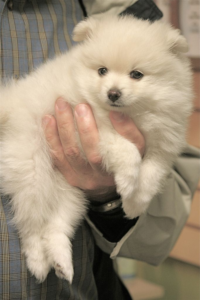 Image detail for -. white american eskimo dog tops off the white small dog  breeds