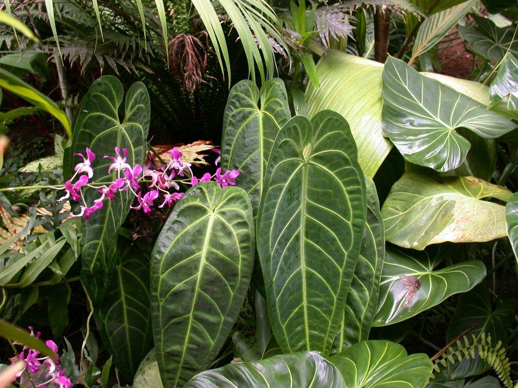 Queen Anthurium Plant Leaves Plants Anthurium