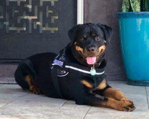 Rottweiler Vs American Pitbull Terrier Dog Vs Dog Rottwiler