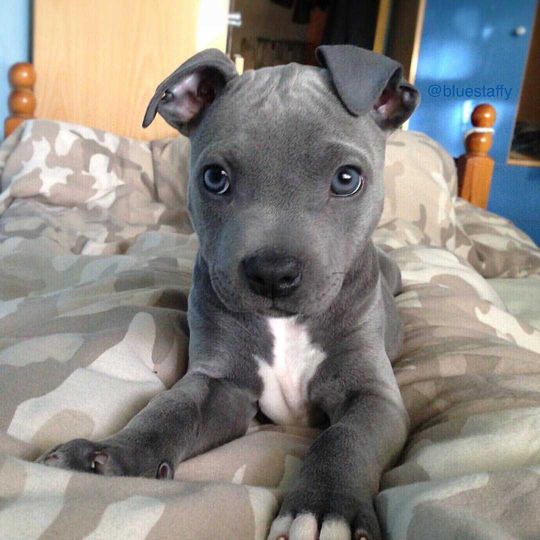 Pin by Micki Bagby on Love my pittie Cute animals