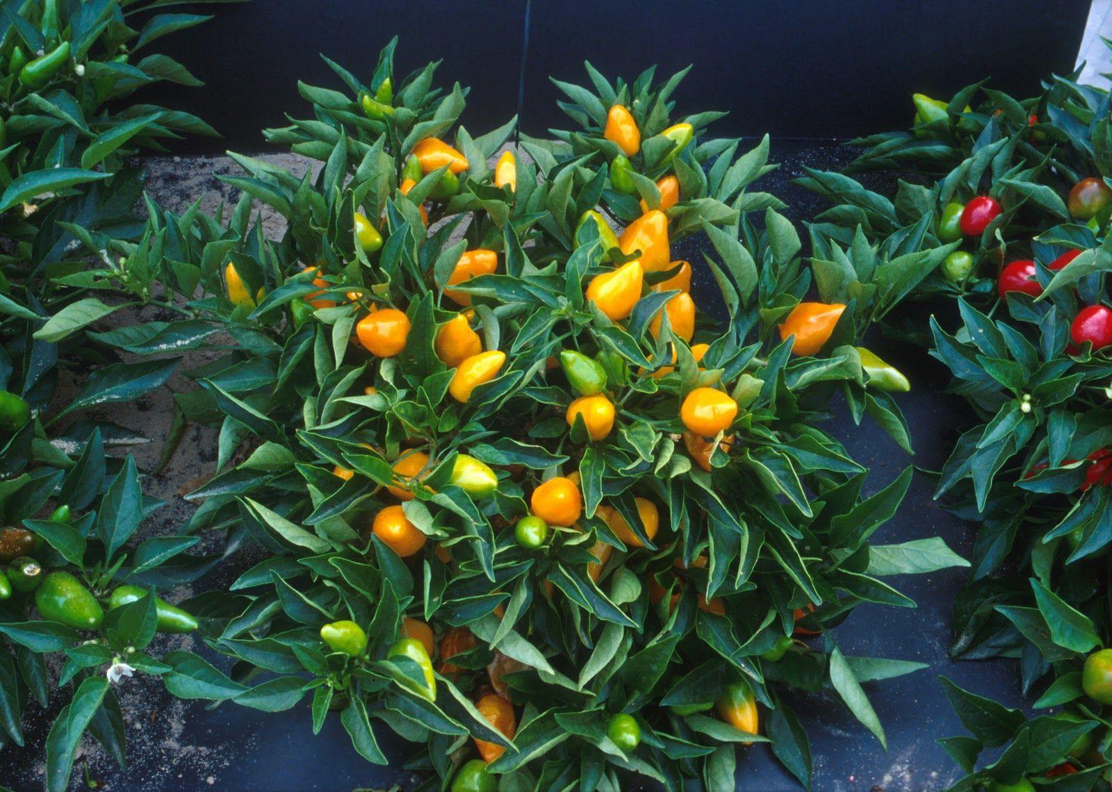 Orange Pepper Plant Awesome gardening ideas at farmersme.com