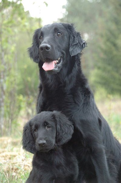 Pin By Nancy Jo On Flat Coated Retriever Flat Coated Retriever Retriever Dog Breeds