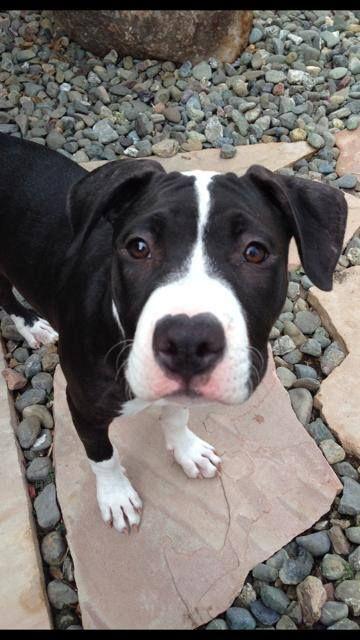 Adopt Aria On Cute Little Kittens Pitbull Terrier Animals
