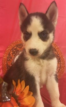 Litter Of 9 Siberian Husky Puppies For Sale In Inman Sc Adn 44668