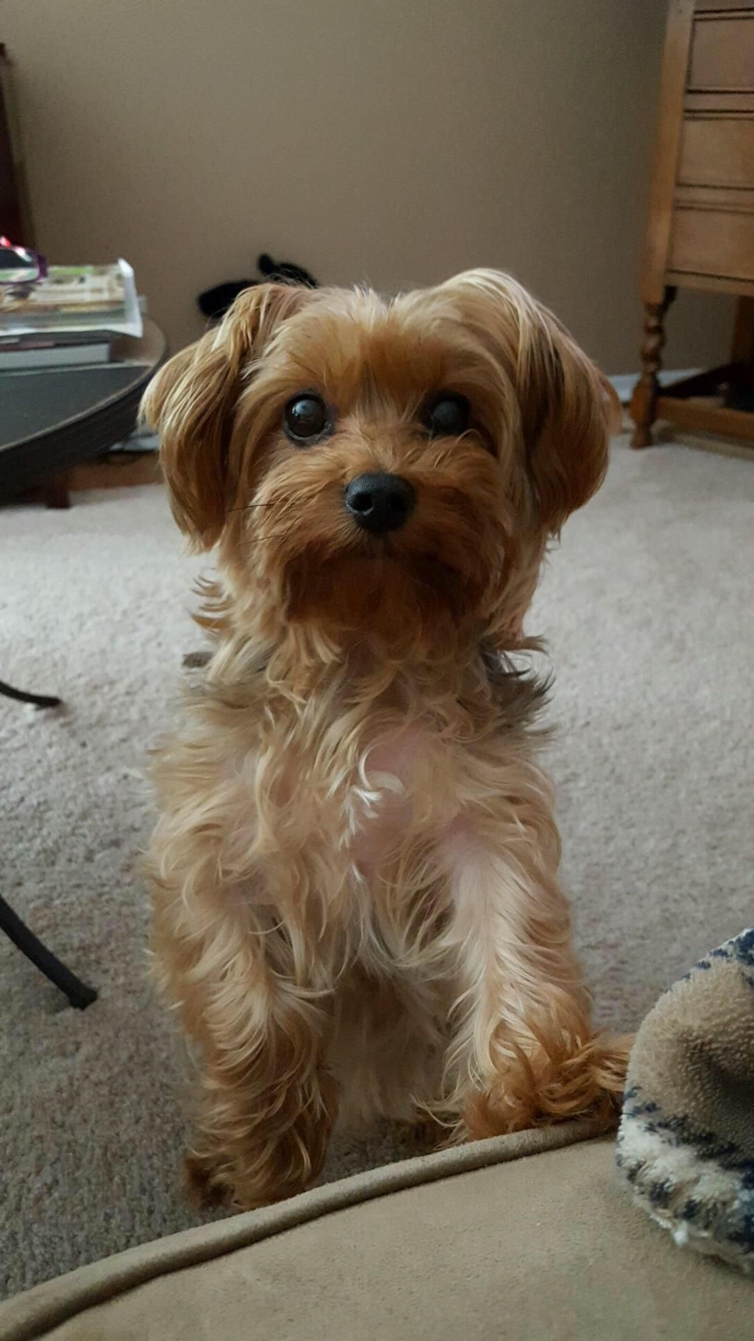 The cutest yorkie ever is my yorkie and his name is midget aww