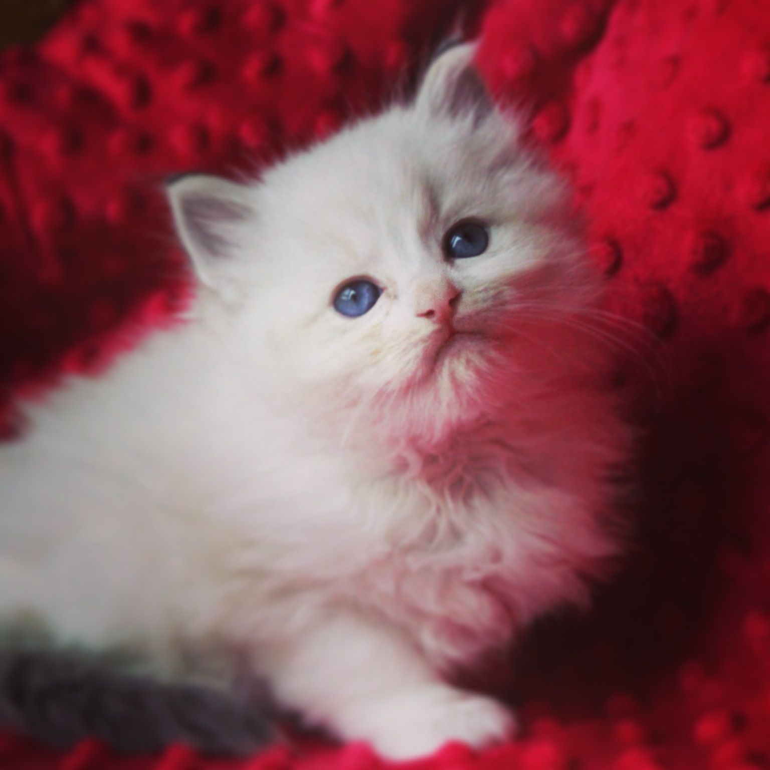 Ragdoll Kitten 5 Weeks Old Seal Lynx Bicolor Miss Sprinkles Ragdoll Kitten Crazy Cats Cute Cats And Dogs Beautiful Cats