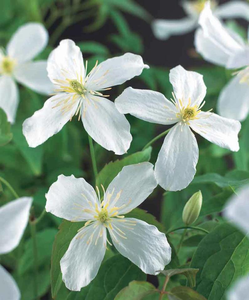 Clematis montana 'Grandiflora' wit in 2020 Clematis
