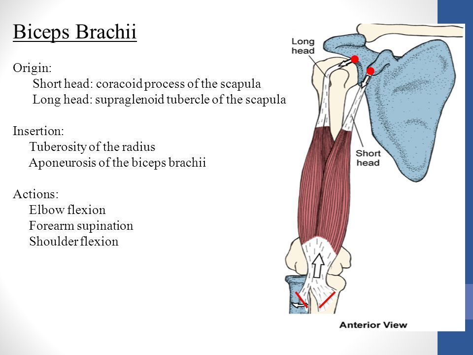Image result for supraglenoid tubercle biceps brachii ...