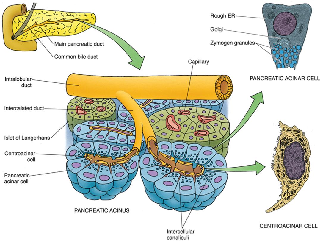 Histology Pancreas Acini Centroacinar Cells And Intercalated Duct