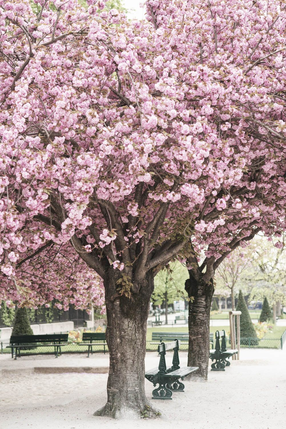Pink Cherries And Green Benches Square Jean Xxiii Parisian Moments Springtime In Paris Blossom Trees Tree