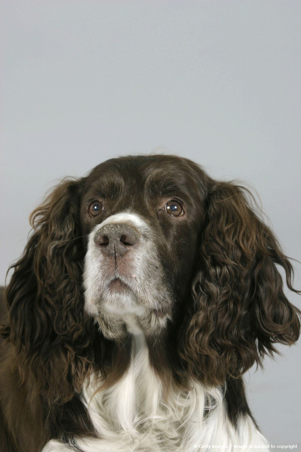 English Springer Spaniel Old Age Springer Spaniel English Springer Spaniel English Springer