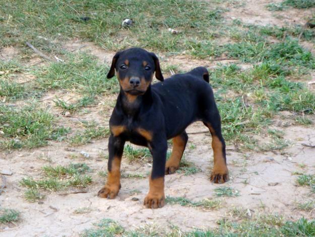 Doberman Puppy So Cute Doberman Dogs Doberman Pinscher Puppy