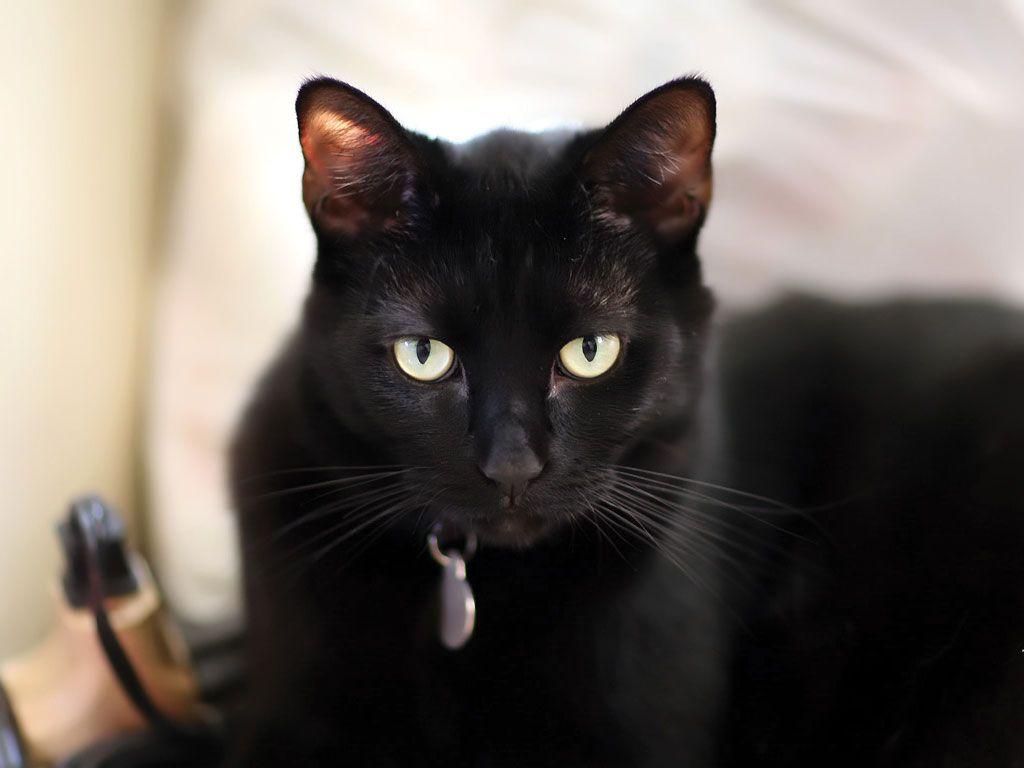 Black American Shorthair Cat Black Cat Breeds Black American Shorthair American Shorthair Cat
