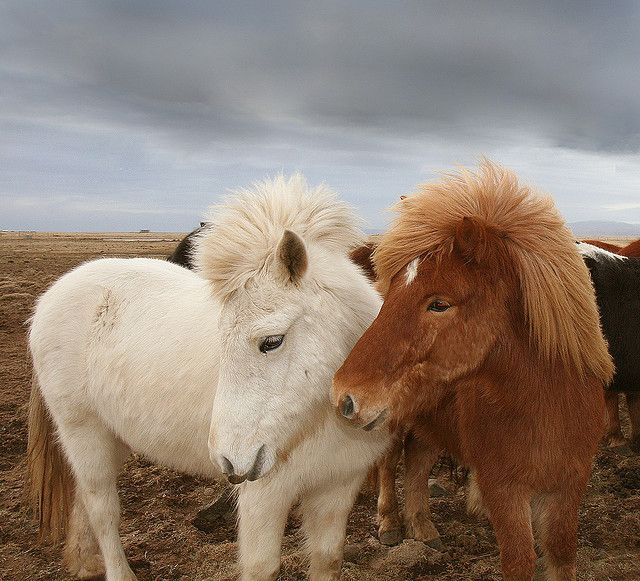 "These Icelandic ponies look like the real life version of a My Little Pony! I was never one of those ""horse girls"" in high school... but I'm momentarily obsessed with this lady's Flickr stream."
