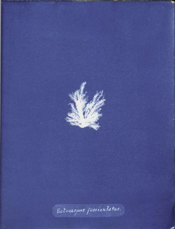Ectocarpus fasciculatus. (1843-1853)