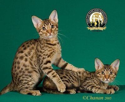 Ocicat A Wonderful Breed With No Genetic Wildness In It As The Bengal Has If You Want Wild Looking Go For A Purebred Ocicat Ocicat Cat Breeds Cat Lovers
