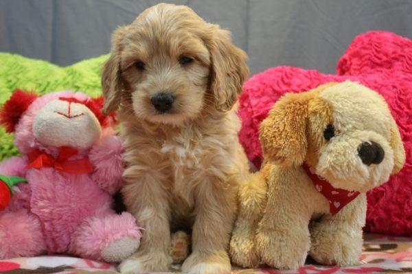 Labradoodle Puppies For Sale In Mi Labradoodle Puppy Australian