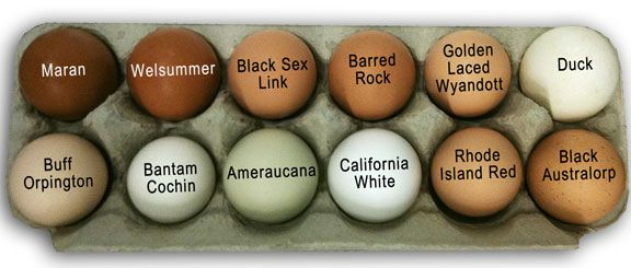 assorted eggs from common chicken breeds