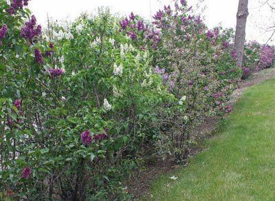 lilac hedge garden yard ideas