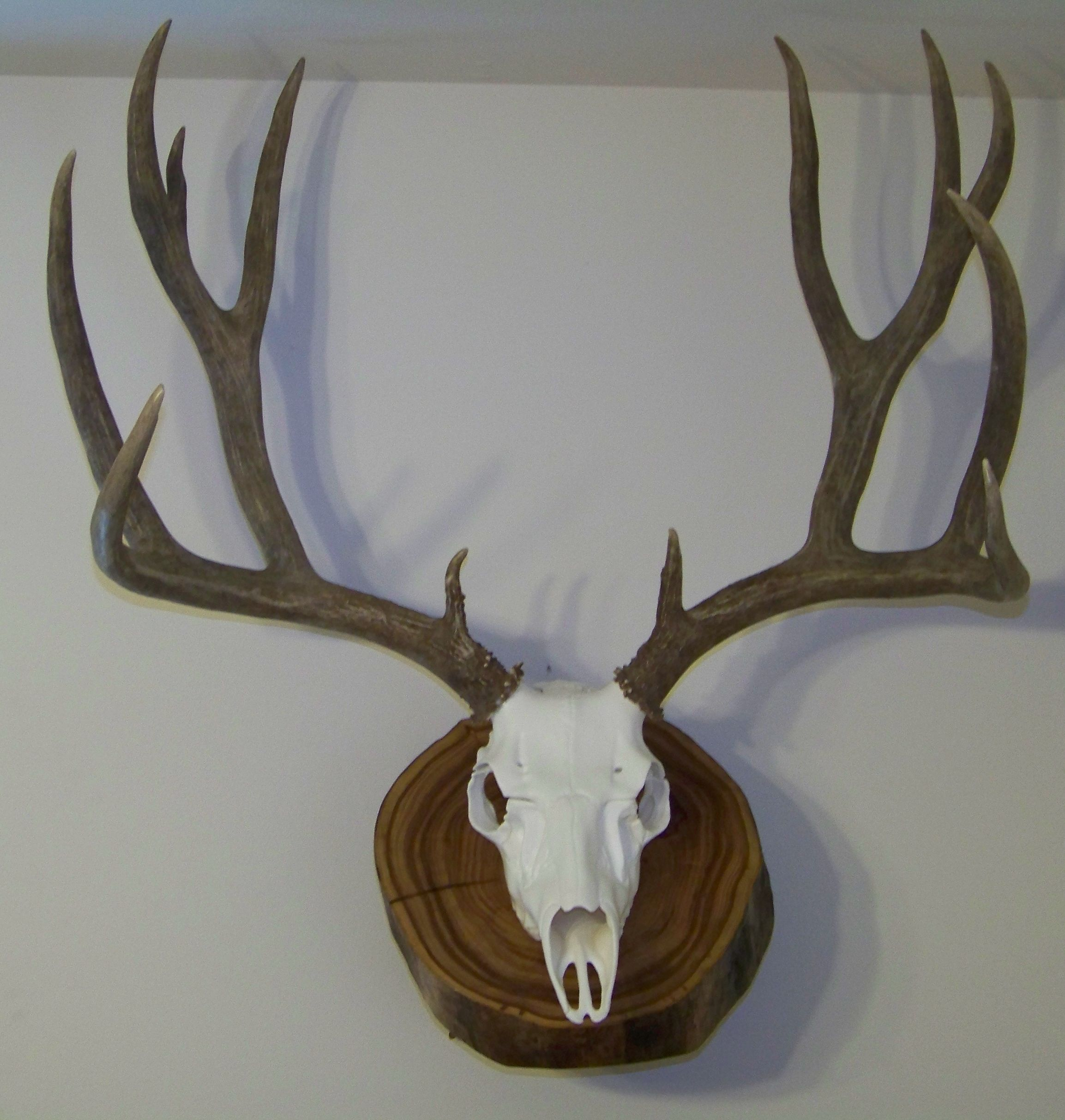 Montana Mule Deer With A Reproduction Skull On An Elm
