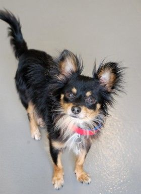 Farley Male Long Hair Chihuahua Mix 4 Years Old Available For
