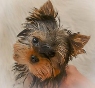 Yorkies For Sale Teacup Yorkie Puppies For Sale Parti Yorkies Teacup Yorkie Yorkie Puppy For Sale Yorkie