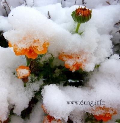 Orangene Tagetes unter Schnee