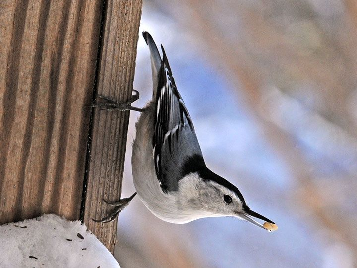 nuthatch_8129.jpg 720×540 pixels | Backyard birds, Birds ...