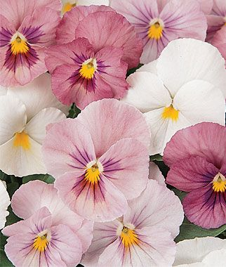 Pansy Panola Pink Shades Mix Seeds And Plants Flowers At Burpee Com Pansies Flowers Flower Seeds Annual Flowers
