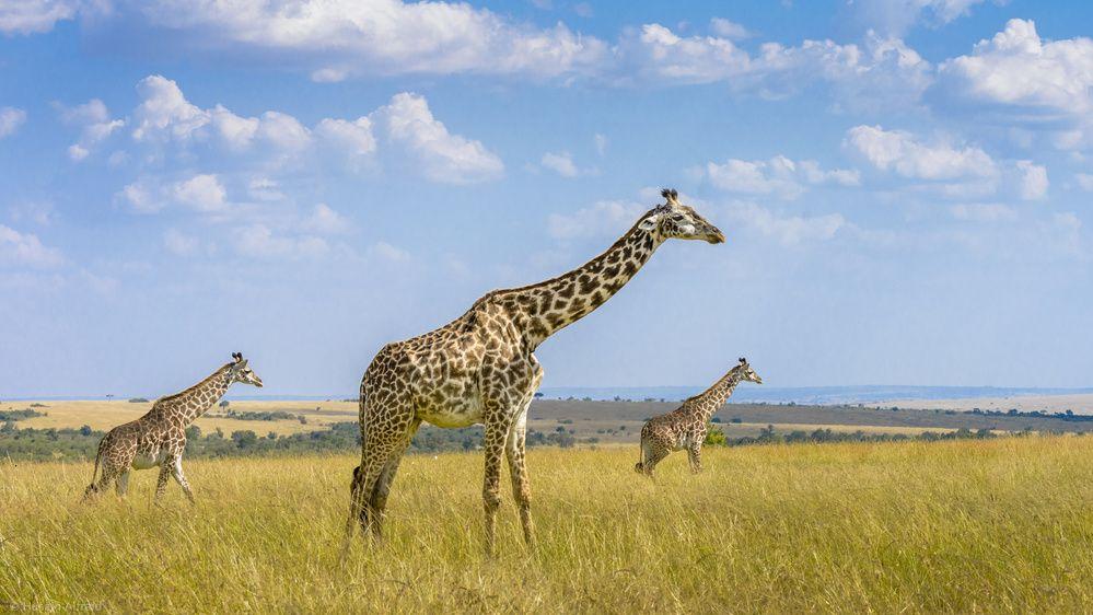 Trio Giraffes - Husain Alfraid