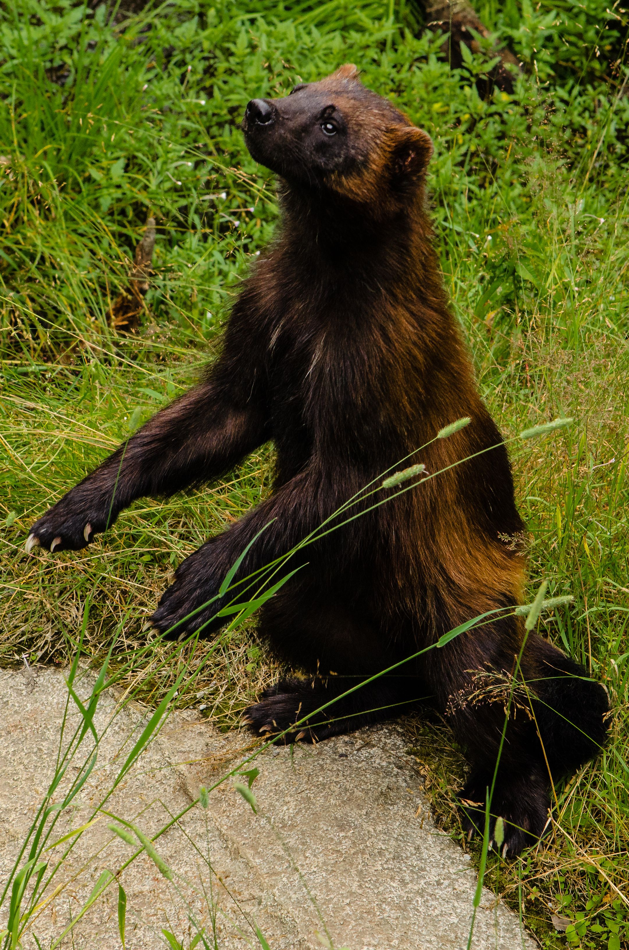Wolverine (Gulo gulo). Finland. Photo by J. Partanen (at
