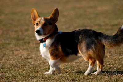 Pembroke Welsh Corgi With A Tail I Am On The Hunt For A Good