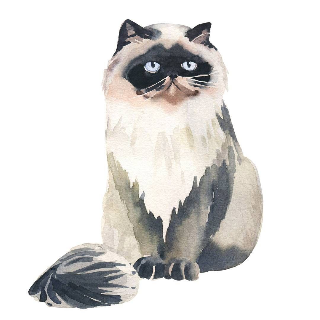 Himalayan #cat#catsofinstagram #illustration#art