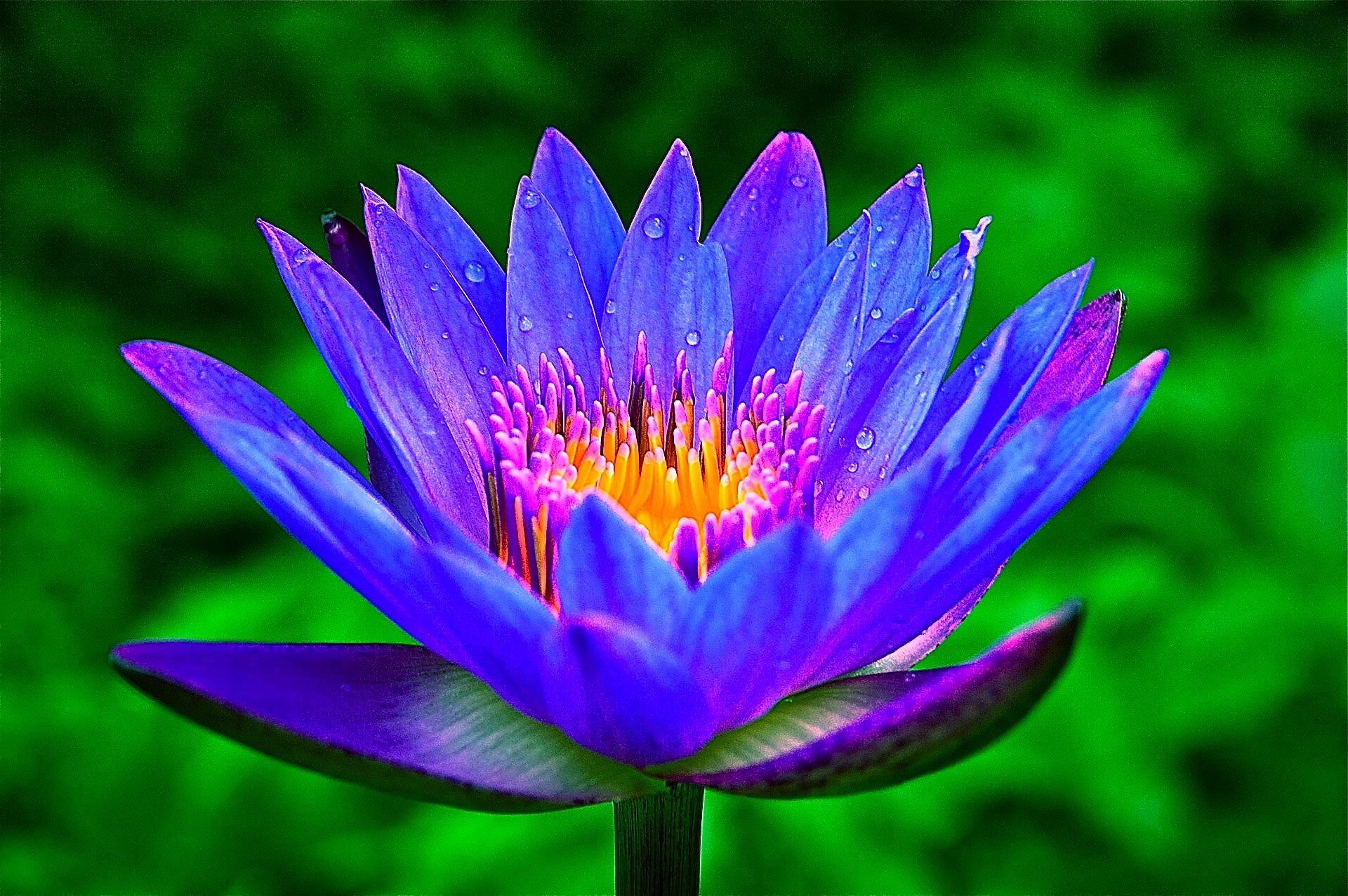 Relax & Sleep's special ingredients: Blue Lotus of the Nile - Symbolically  linked to wisdom, intelligence… | Blue lotus, Beautiful flowers garden,  Beautiful flowers