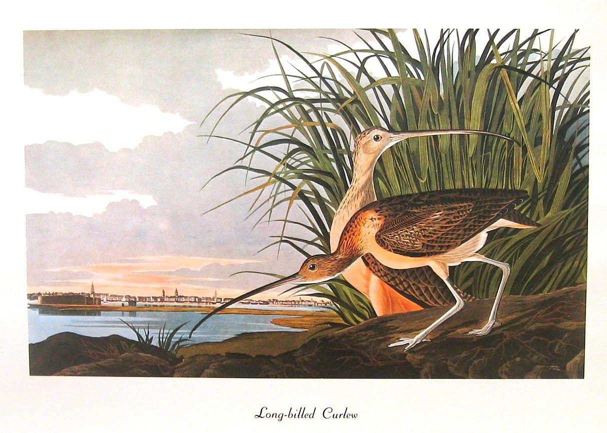 Long Billed Curlew 1979 Vintage Audubon Bird Print Book Plate. $10.00, via Etsy.