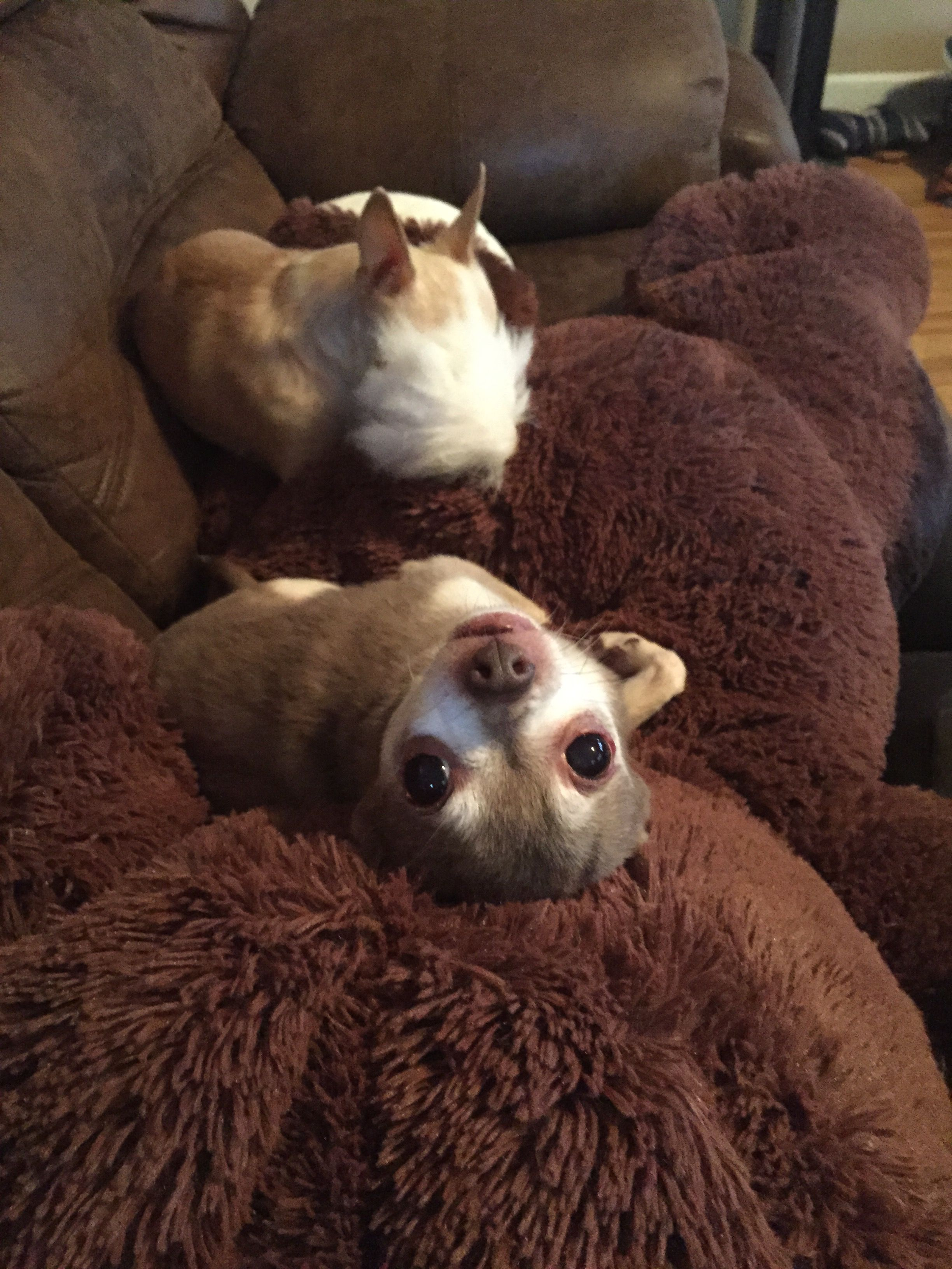 Pin By Karina Stern On Group Chihuahuas Best Dog Breed Ever Cute Chihuahua Chihuahua Lover Chihuahua Love