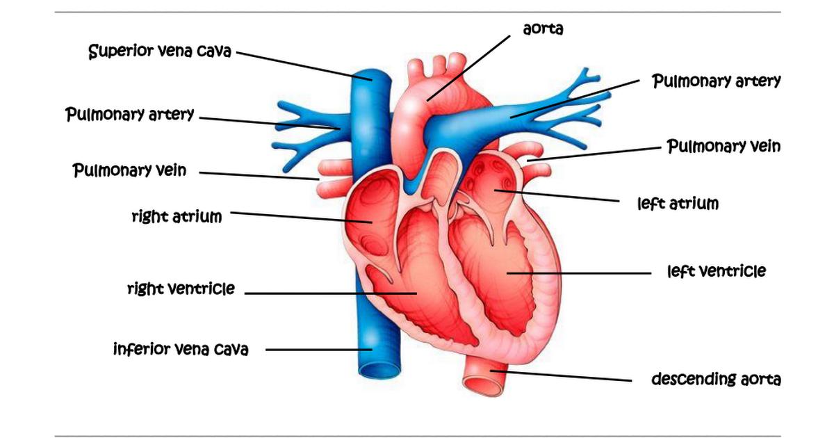 The Heart (3) pdf | Circulatory System Diagram | Heart, Circulatory