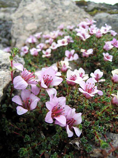 Counties Flowers of Northern Ireland  Londonderry ( Purple Saxifrage ) www.facebook.com/flowerofworld www.flowerhomes.blogspot.com