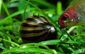3 Live Zebra Nerite Snail Betta Fish Tank Snail Betta Fish