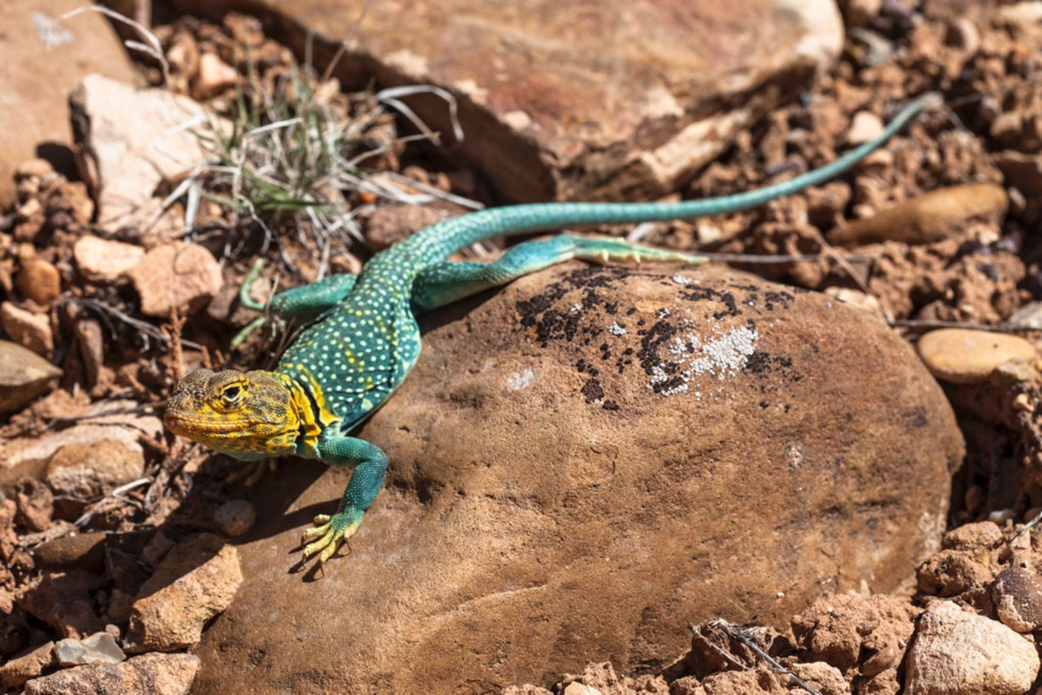 In Photos Flashy Collared Lizards of the North American
