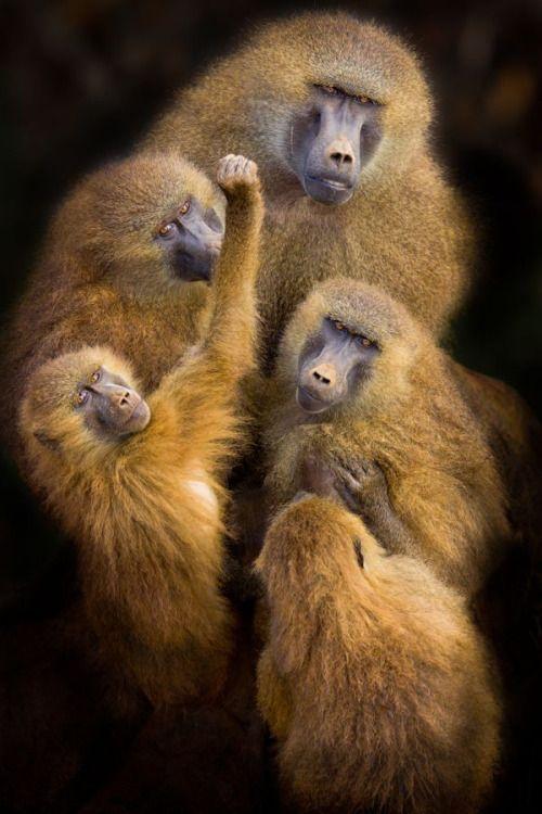 Baboons 'United' Photographer Mario Moreno  Cabarceno Wildlife Park in Cantabria, Spain