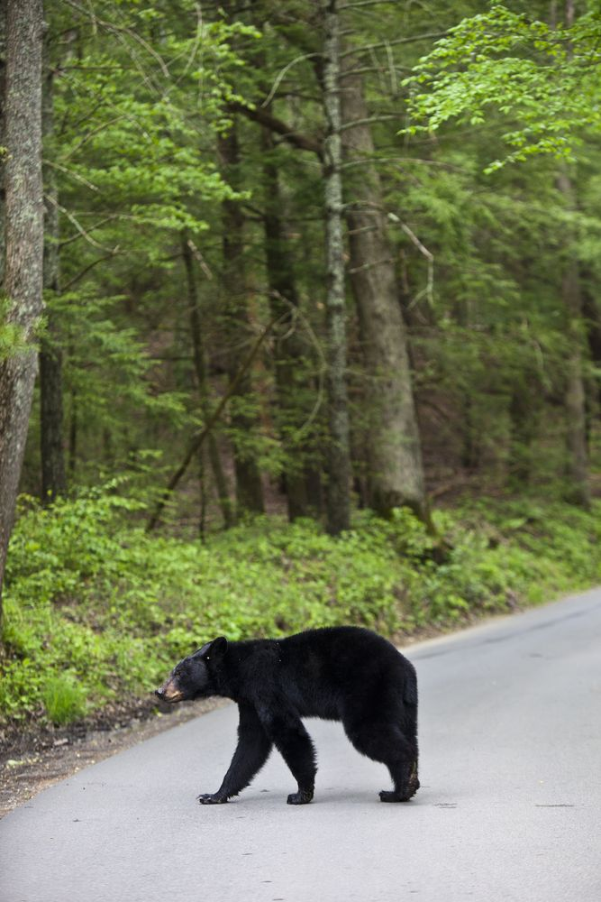 Black Bear Crossing The Road In The Smoky Mountains